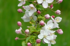 apple-blossoms-55773_1920-225x150-MM-100